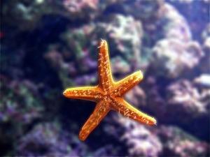 starfish-1763_640