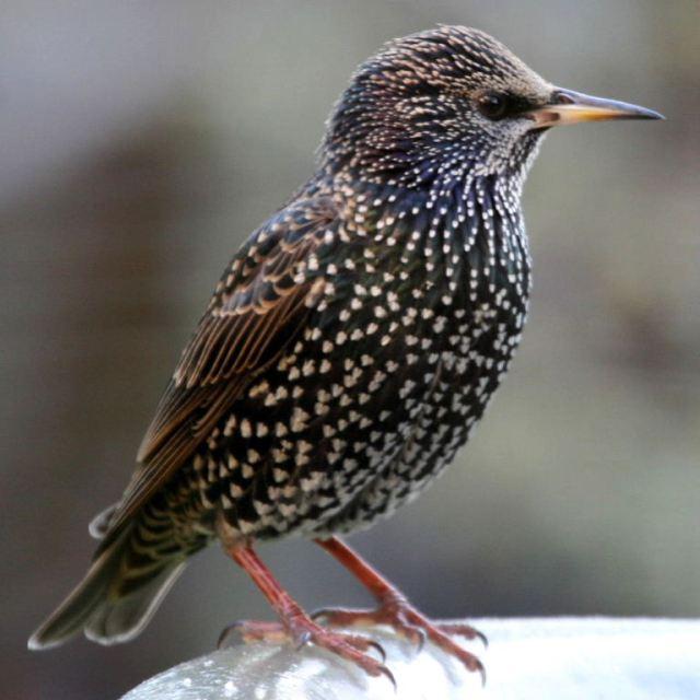 free wikipedia imate starling3