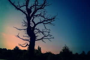 Silhouettes of trees without leaves at sunset